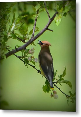 Cedar Wax Wing Metal Print by Carol Norman