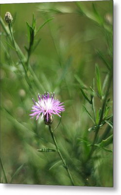 Centaurea Maculosa Spotted Knapweed Metal Print by Rebecca Sherman