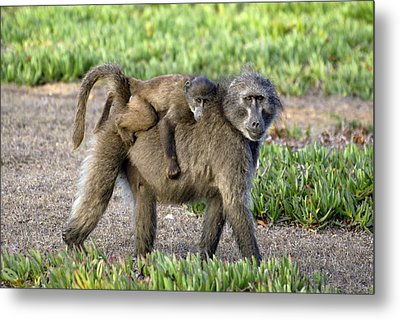 Chacma Baboon Mother And Young Metal Print by Peter Chadwick