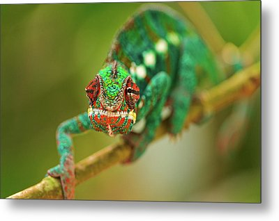 Chameleon Metal Print by Picture by Tambako the Jaguar