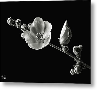 Metal Print featuring the photograph Chaparral Mallow In Black And White by Endre Balogh