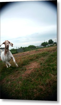 Metal Print featuring the photograph Chased By A Crazy Goat by Lon Casler Bixby