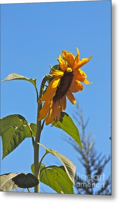 Cheer Up Sunflower  Metal Print by Lori Leigh