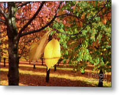 Metal Print featuring the photograph Cheery Tree Sheet by Bruno Santoro