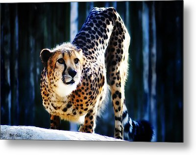 Cheeta Metal Print by Bill Cannon