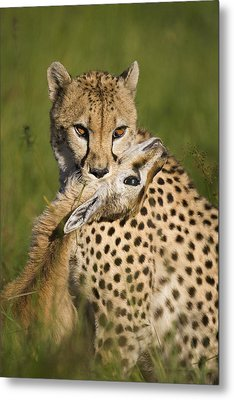 Cheetah Acinonyx Jubatus With Its Kill Metal Print by Suzi Eszterhas