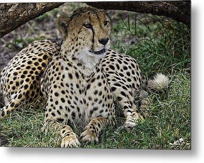 Cheetah Alert Metal Print by Perla Copernik