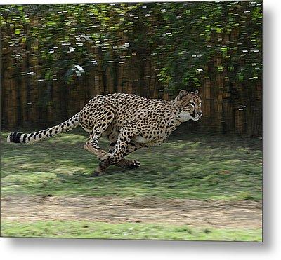 Cheetah Run Metal Print