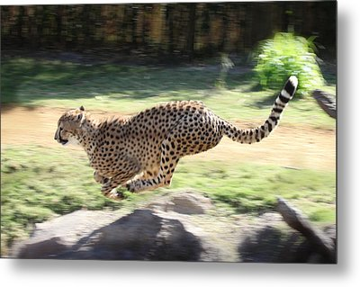 Cheetah Sprint Metal Print by Joseph G Holland