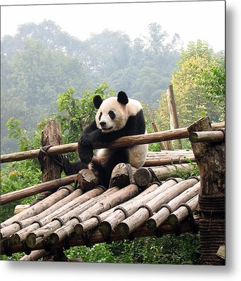 Chengdu Panda Metal Print by Carla Parris