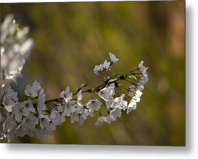 Cherry Blossom Branch Metal Print by Lisa Missenda