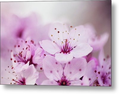 Cherry Blossom Glow Metal Print by Images by Christina Kilgour
