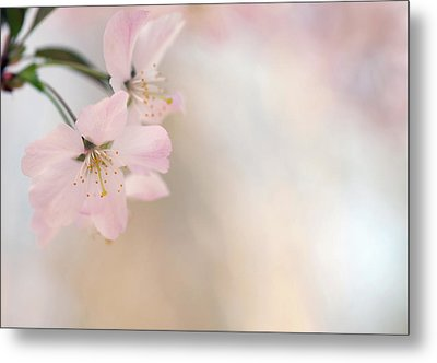 Cherry Blossom Metal Print by Images by Christina Kilgour
