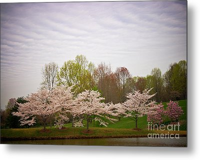 Cherry Blossoms At Meadowlark Metal Print