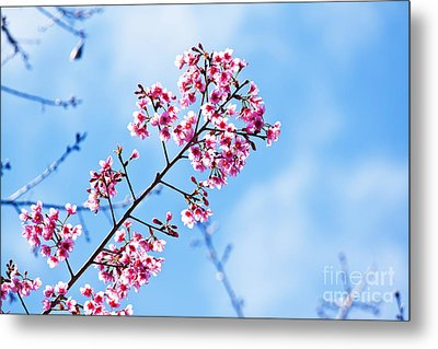 Cherry Blossoms Sakura Metal Print by Chaloemphan Prasomphet