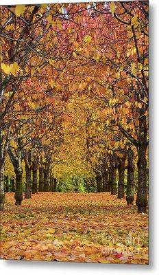 Metal Print featuring the photograph Cherry Tree Plantation by Bruno Santoro