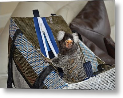 Chewy The Marmoset Going Fishing Metal Print by Barry R Jones Jr