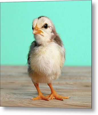 Chick On Wood Metal Print by Retales Botijero