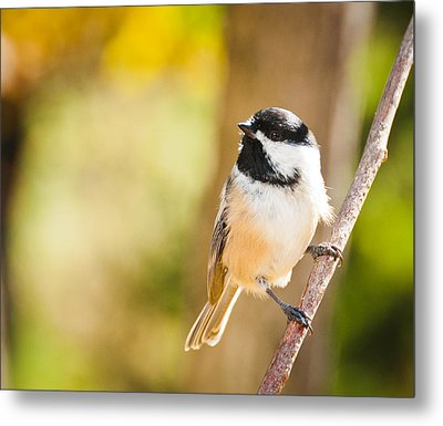 Metal Print featuring the photograph Chickadee by Cheryl Baxter