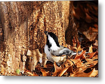 Chickadee With Sunflower Seed Metal Print by Larry Ricker