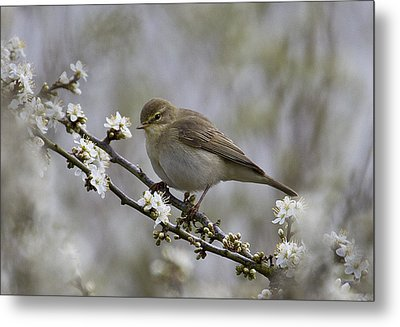 Chiff Chaff On Blackthorn Blossom Metal Print