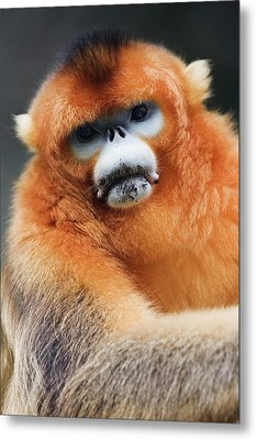 China, Shaanxi Province, Golden Monkey (rhinopithecus Roxellana ) Metal Print by Jeremy Woodhouse