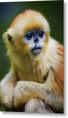 China, Shaanxi Province, Young Golden Monkey (rhinopithecus Roxellana) Metal Print by Jeremy Woodhouse