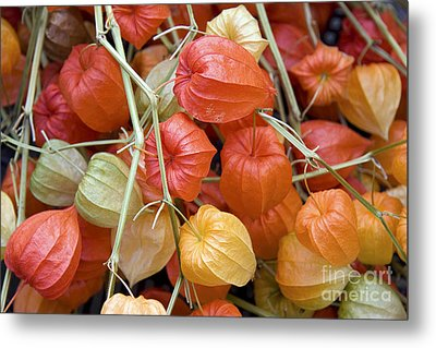 Chinese Lantern Flowers Metal Print
