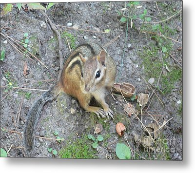Metal Print featuring the photograph Chipmunk Feast by Laurel Best