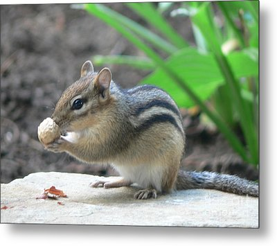 Metal Print featuring the photograph Chipmunk by Laurel Best