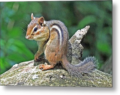 Metal Print featuring the photograph Chipmunk by Rodney Campbell