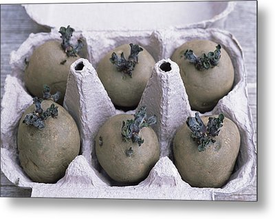 Chitted Potatoes In An Egg Box Metal Print by Maxine Adcock
