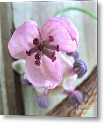 Chocolate Vine Young Bloom Macro Metal Print by Padre Art