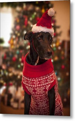 Christmas Dressed Up Dog Metal Print by Malcolm Smith