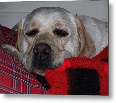 Metal Print featuring the photograph Christmas Lab by Christine Drake