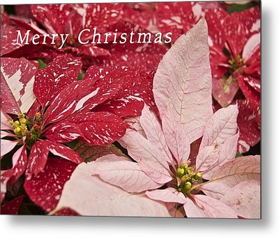 Christmas Poinsettias Metal Print by Michael Peychich