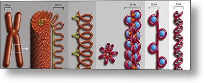 Chromatin Condensation, Diagram Metal Print by Art For Science