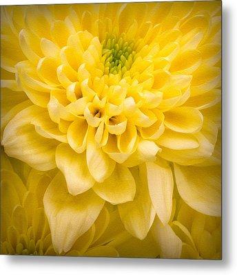 Chrysanthemum Flower Metal Print by Ian Barber