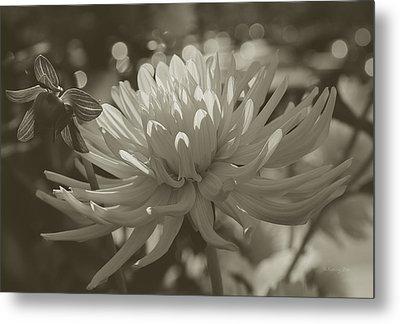 Chrysanthemum In Bloom Metal Print by Xueling Zou
