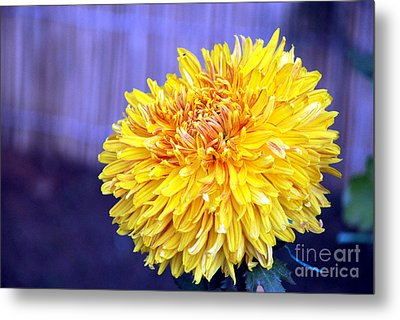 Metal Print featuring the photograph Chrysanthemum by Pravine Chester