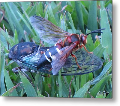 Metal Print featuring the photograph Cicada Killer by John Crothers