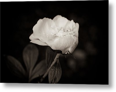 Metal Print featuring the photograph Classic Peony by Sara Frank