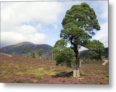 Cleared Scots Pine Forest Metal Print by Duncan Shaw