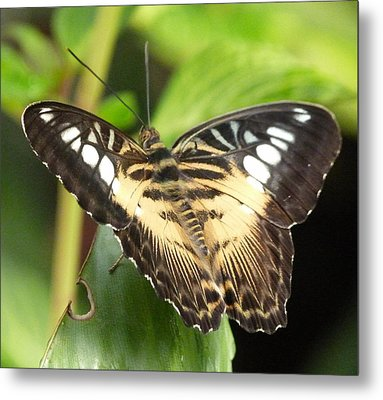 Metal Print featuring the photograph Clipper Butterfly by Lynn Bolt