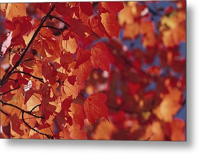 Close-up Of Autumn Leaves Metal Print by Raymond Gehman