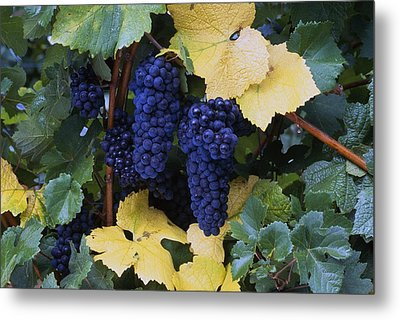 Close-up Of Ripe, Wine Grapes And Leaves Metal Print by Natural Selection Craig Tuttle