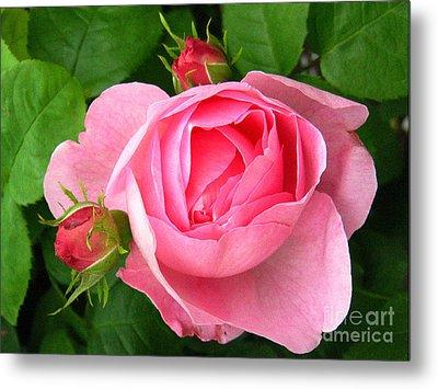 Rose And Rose Buds Metal Print