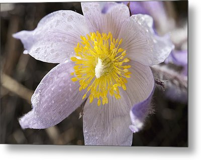 Close Up Of The Inside Of A Prairie Crocus With Water Droplets Metal Print
