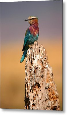 Close View Of A Lilac-breasted Roller Metal Print by Roy Toft