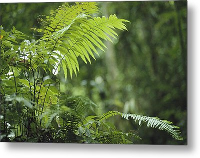 Close View Of Ferns In A Papua New Metal Print by Klaus Nigge